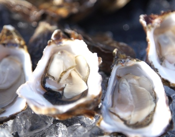 Science in Progress: Of Oysters and Climate Change